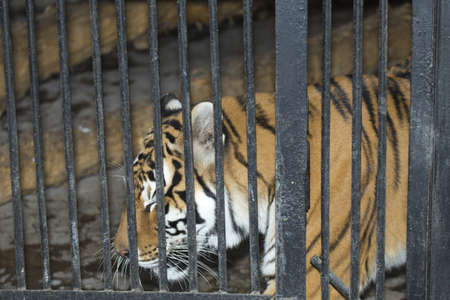 Tiger in zoo cage Stock Photo
