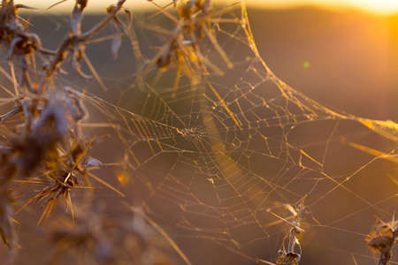 spider web under the sunset on thorny plants