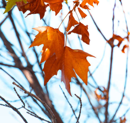 autumn, maple leaves against the sky