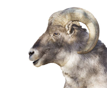 face of a horned mountain ram isolated on a white background