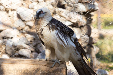 white-tailed eagle in the zoo, wants to build a nest of feathers and leaves of trees