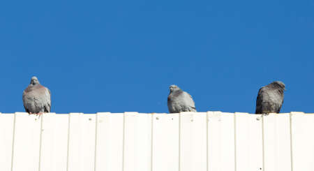 Portrait of a seated dove in the roof against the sky Stock Photo