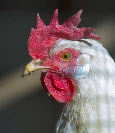 hens in the chicken coop Stock Photo