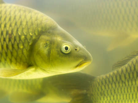 gold fish carp in the aquarium