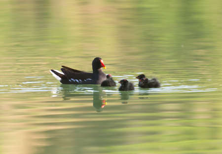 moorhen with babies swimming on the water
