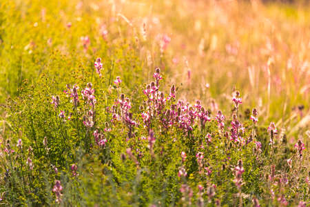 A bright pink common heather (Calluna vulgaris) blooms in the open air