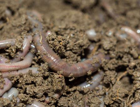 A huge number of earthworms for fishing Standard-Bild