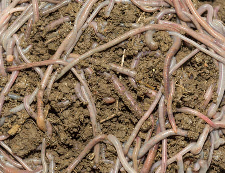 A huge number of earthworms for fishing Stock Photo