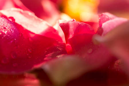Beautiful gold photograph of rose petals against the background of drops of water during sunset