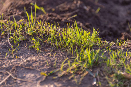 growing grass on the ground Archivio Fotografico - 114448624