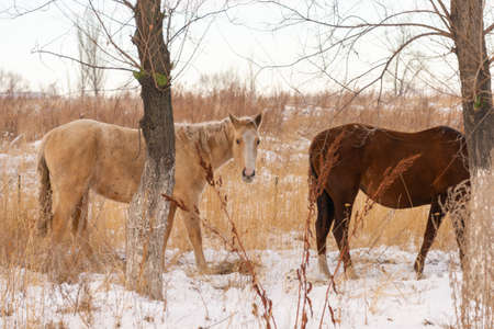 Group of horses nibbling on grass sticking through snow on a cold bright winter day Banque d'images