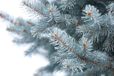 Natural texture of a winter background of Christmas trees. Snow is coming, snow-covered spruce branches