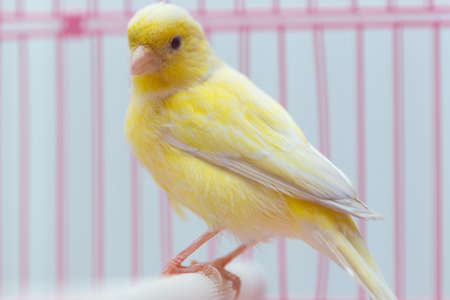 beautiful yellow canary in a cage