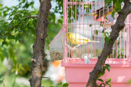 canary in a cage hanging on a tree in nature 版權商用圖片