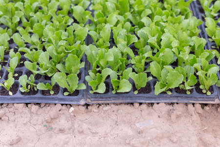 Growing seedlings of young cabbage in a greenhouse