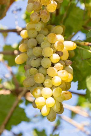 białe przejrzałe winogrona, zjadły owady, popołudniowe słońce jesienią