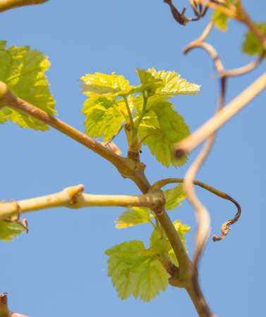 grape leaves against the sky