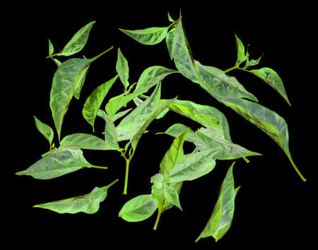 Fresh green leaves from pepper on a black background.