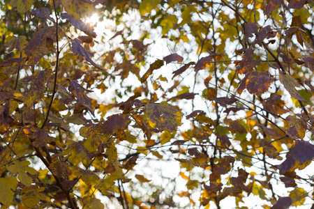 Golden autumn leaves on a branch opposite the sky, selective focus 版權商用圖片
