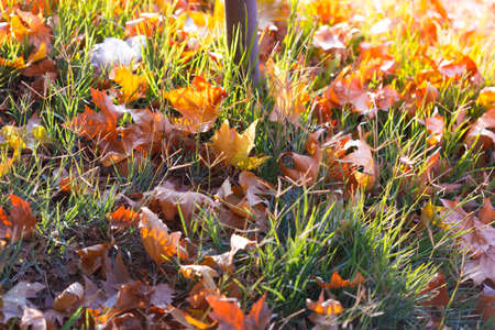Yellow and red leaves lie on the grass, maple leaves on the grass. Autumn leaf fall. Maple leaves flew from the trees. Fallen leaves under the sun. Autumn day 版權商用圖片