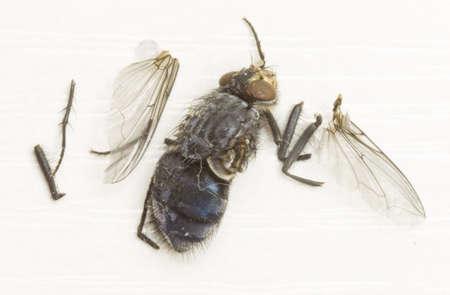 Fliege auf weißem Hintergrund