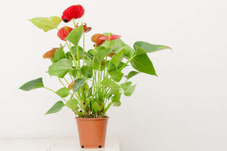 Blooming plants of anthurium  flamingo flowers in a pot on a wooden table on a background of a white wall