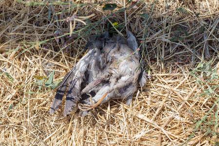 dead dove, a bird lies on dry grass