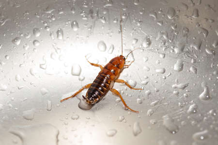 Large cockroach in a stainless steel sink against the background of a drop of water 版權商用圖片