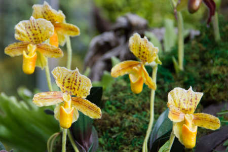 yellow lady-slipper orchid Stock Photo