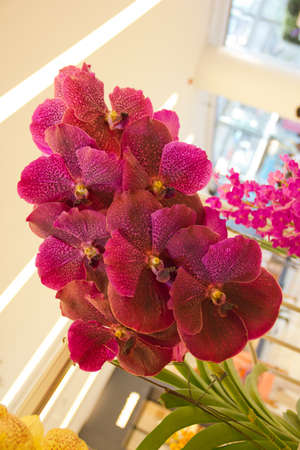 red vanda orchid Stock Photo