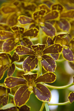 grammatophyllum orchid Stock Photo