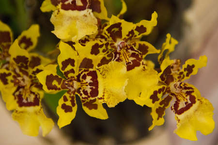 onc   Wildcat orchid Stock Photo