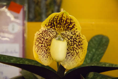 Paphiopedilum  Godefroyae orchid Stock Photo