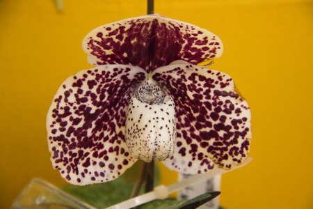 orchidology: Paphiopedilum bellatulum orchid