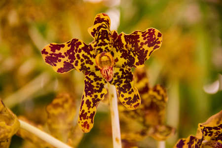grammathophyllum speciosum orchid Stock Photo - 14012634