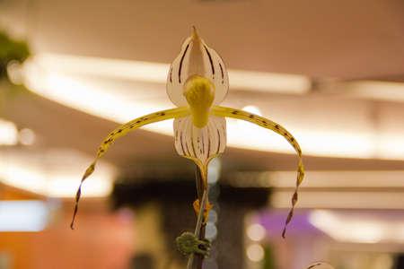 stonei orchid Stock Photo - 14012469
