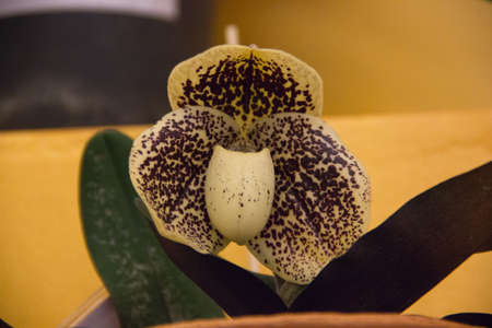 orchidology: bellatulum orchid