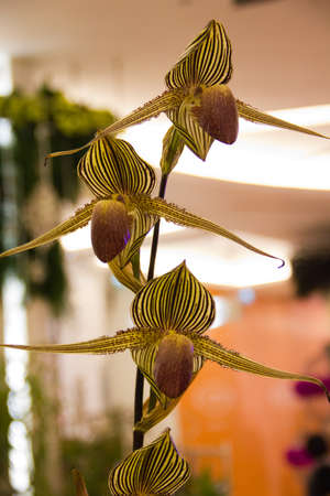 Paphiopedilum Roths- childianum orchid Stock Photo