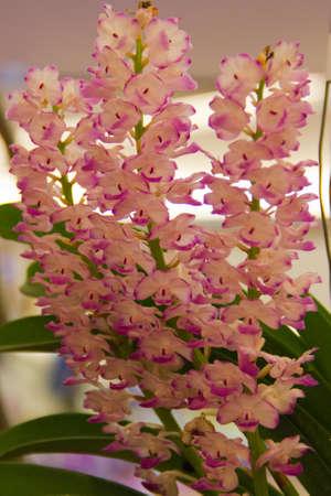 Rhy Coetestis orchid
