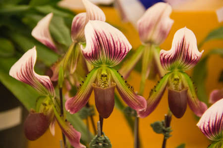 Paphiopedilum callosum orchid
