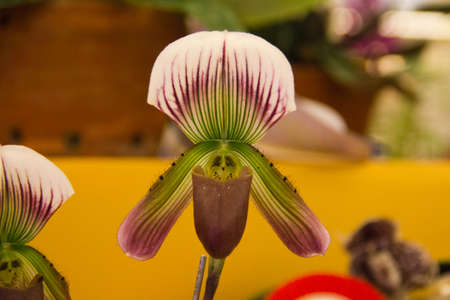 Paphiopedilum callosum orchid Stock Photo - 14012580