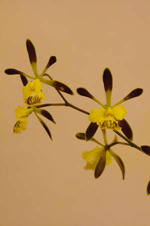 beautiful yellow orchid Stock Photo - 14012343