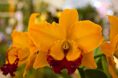 cattleya orchid Stock Photo - 14012462