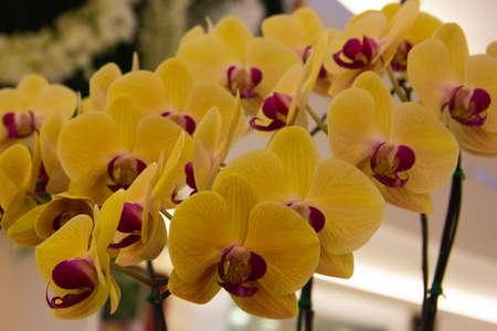phalaenopsis orchid Stock Photo - 14012571