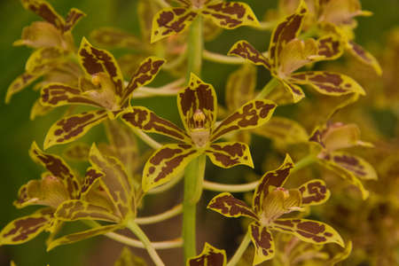 grammathophyllum speciosum orchid Stock Photo - 14012583