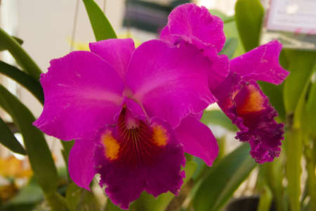 cattleya orchid Stock Photo - 14012480