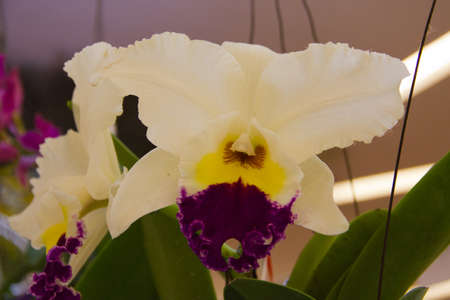 cattleya orchid Stock Photo - 14012468