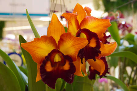 cattleya orchid Stock Photo