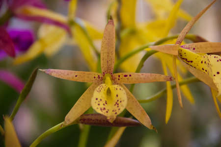 yellow bird orchid Stock Photo