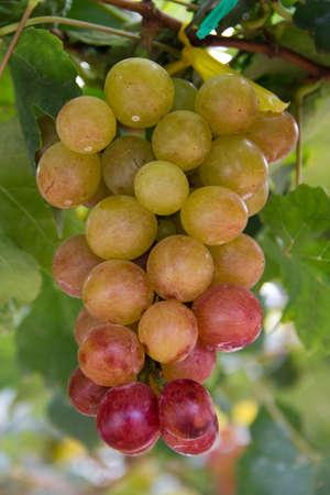 vineyard in Pattaya, Thailand Stock Photo - 14012647